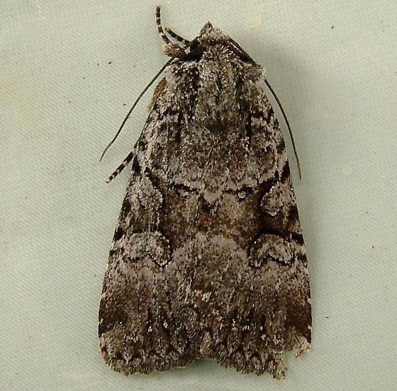 1623 Xestia mustelina - Cutworm Moth 10971 - Xestia mustelina