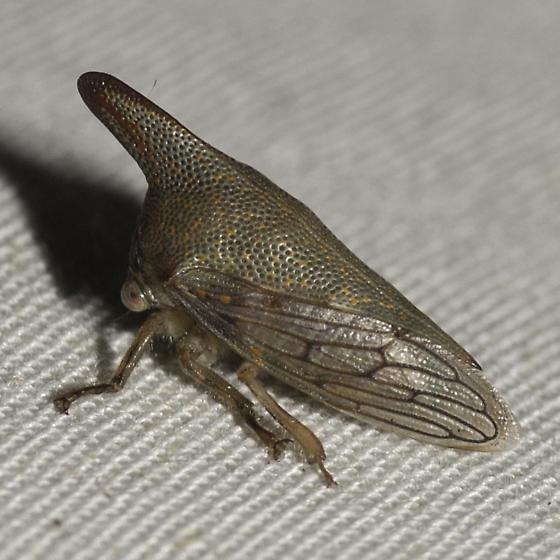 oak treehopper? - Platycotis vittata