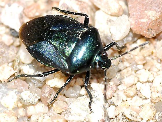 Pentatomidae - Zicrona sp - Zicrona caerulea