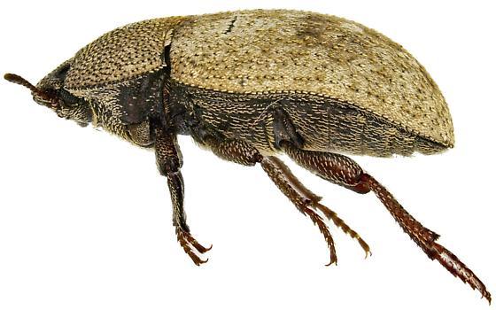 Ammodonus granosus? - Ammodonus granosus