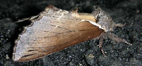 Moth 2 - Pheosidea elegans
