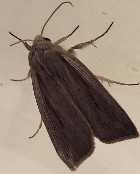 Wainscott sp.? - Leucania linita
