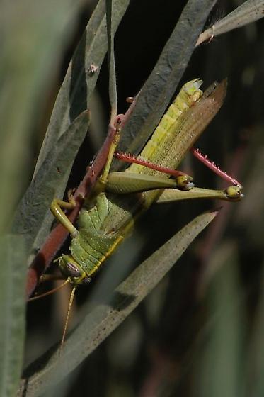 Spotted Bird Grasshopper - Schistocerca lineata - Schistocerca lineata - male