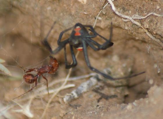 Western black widow, juvenile (Latrodectus hesperus) - Latrodectus hesperus