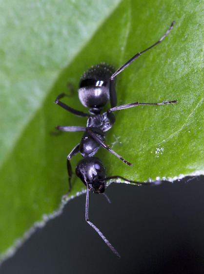 Ants - Formica subsericea