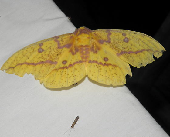 Imperial Moth - Hodges#7704 - Eacles imperialis