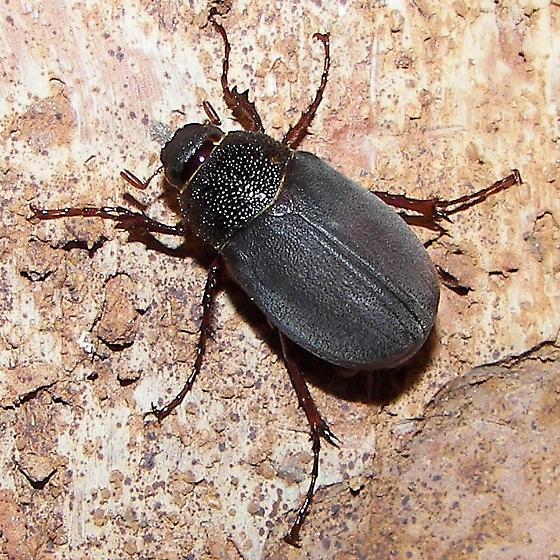 May Beetle - Phyllophaga prunina