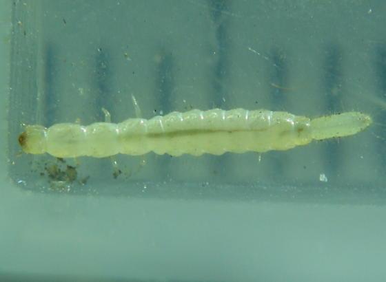 Bulb-tailed larva