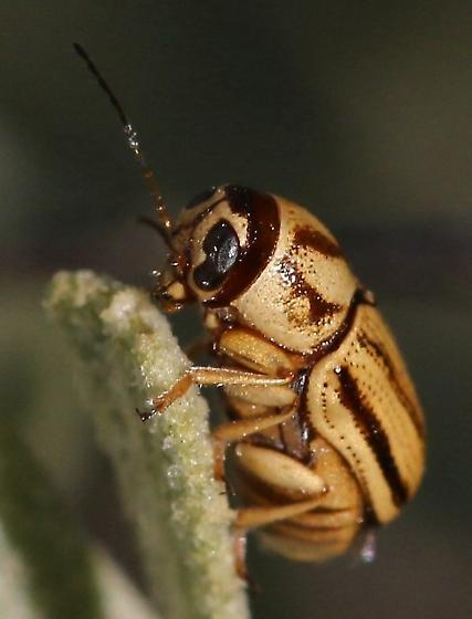 bug, roundish, dark tan, dark markings - Pachybrachis