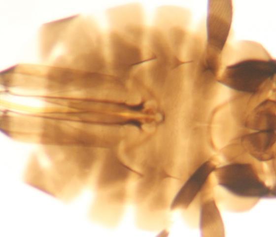 Abdomen - Ablerus - female