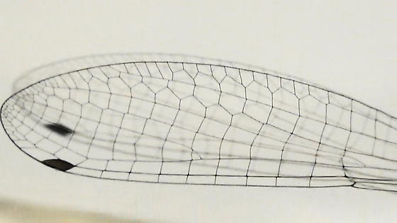 Damselfly Body Scan (fore-wing) - Enallagma civile - male