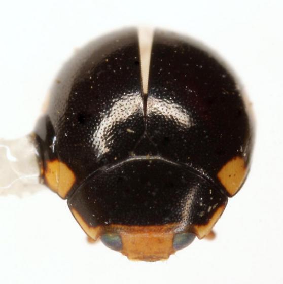 Hyperaspis n. sp. - Hyperaspis