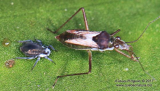 Gerromorpha - Mesovelia