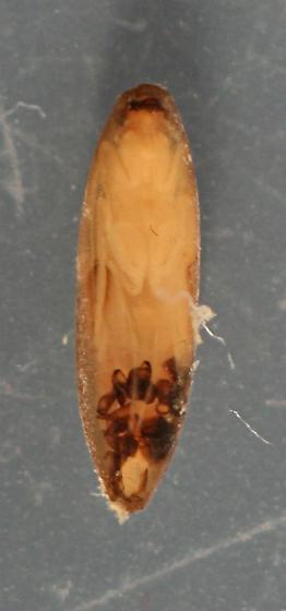 Agapetus sp. pupal cases and pupae - voucher specimens, in alcohol - Agapetus