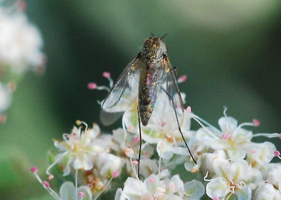 Orange County Bee Fly Archives #103 - Geron