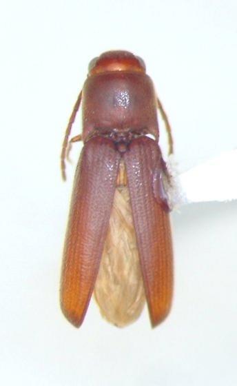 Entomophthalmus rufiolus
