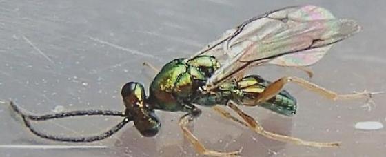 Tiny green wasp.