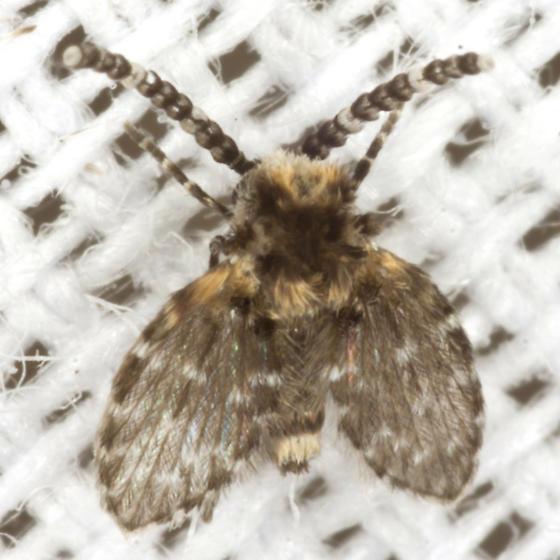 Moth Fly - Eurygarka - male