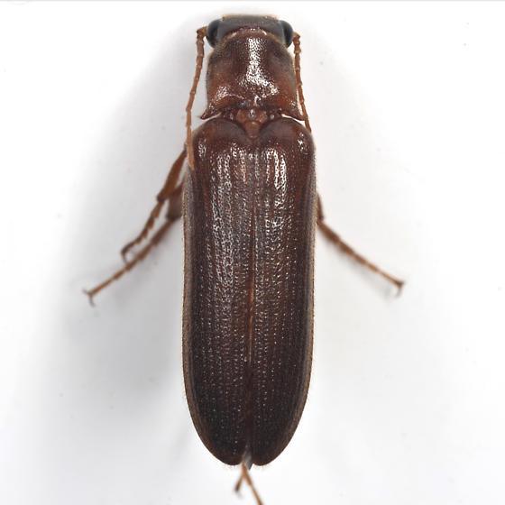 Selonodon Click Beetle_ - Selonodon - male