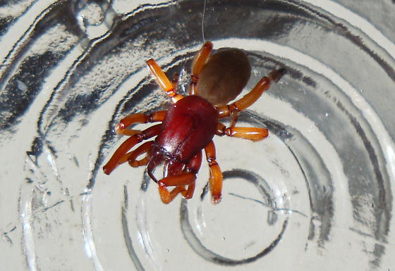 What kind of spider is this?  Poisonous? - Dysdera crocata