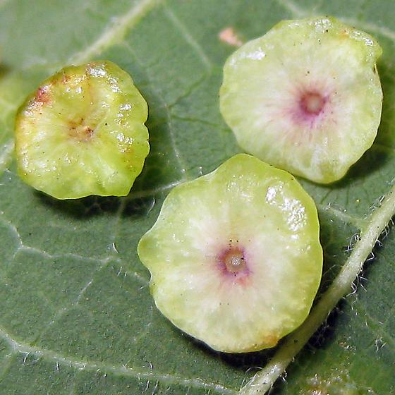 Hackberry Psyllid - Pachypsylla celtidisasterisca
