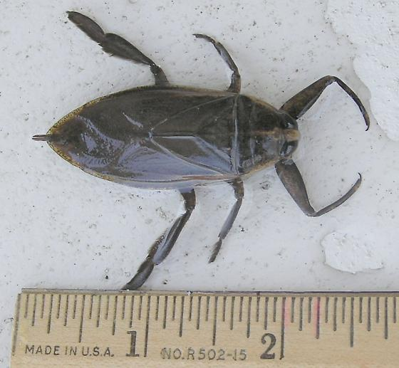 Big Fat Water Bug - Benacus griseus