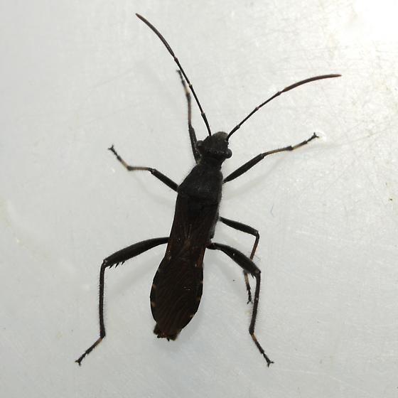 Broad-headed Bug - Alydus