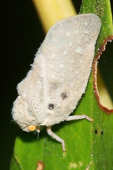 Planthopper - Metcalfa pruinosa