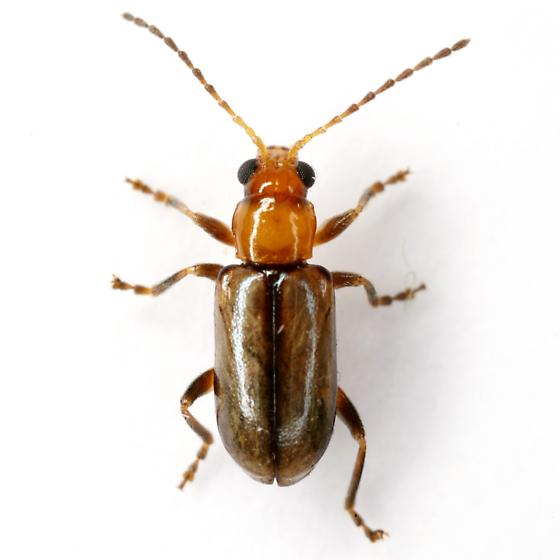 Pseudoluperus cyanellus (Horn) - Pseudoluperus cyanellus