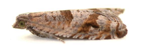 Tortricid reared from tied Vaccinium parviflorum leaves - Rhopobota naevana