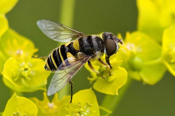 Fly or Bee? - Eristalis transversa