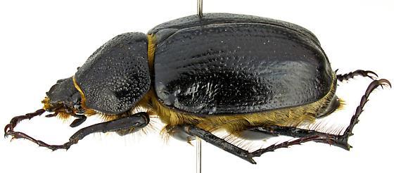 Megasoma punctulatum - female