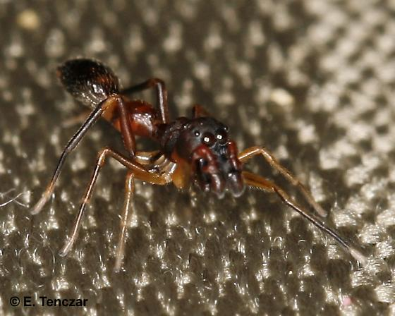 Ant mimic jumper - Synemosyna formica - male