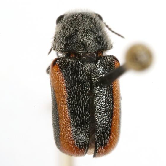 Coleothorpa vittigera (J. L. LeConte) - Coleothorpa vittigera