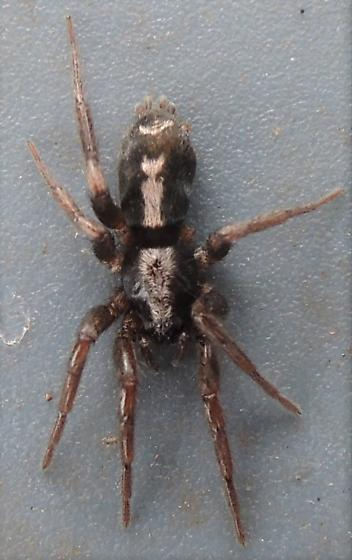 Small Thick Spider North Chicago Suburbs Lake County Please Id