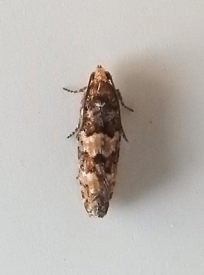 3074 – Eucosma tocullionana – White Pinecone Borer - Eucopina tocullionana