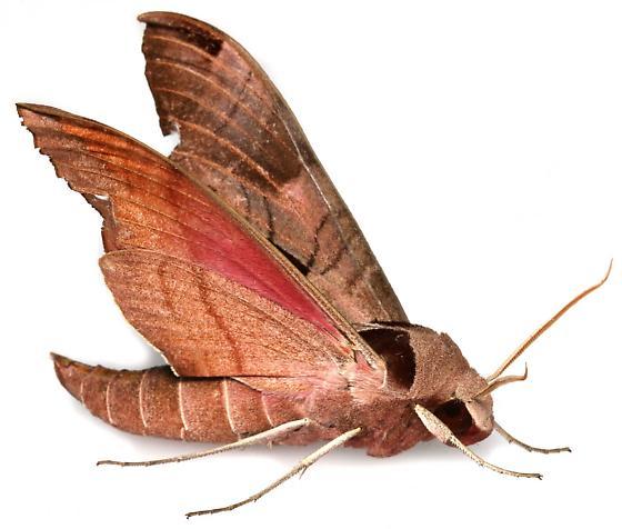 Eumorpha achemon? - Eumorpha achemon