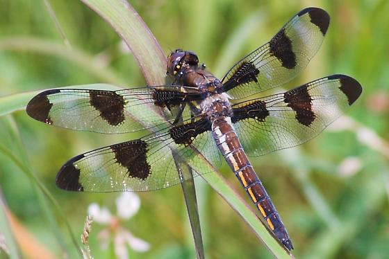 Young Male - Libellula pulchella - male