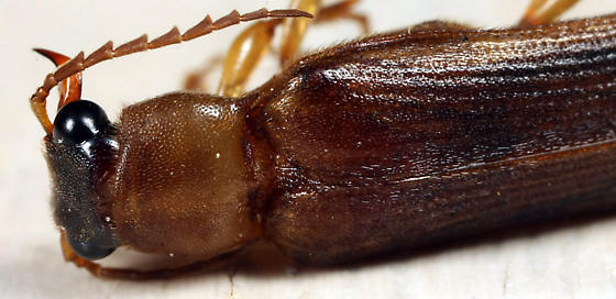 Selonodon, but which one? - Selonodon mandibularis - male