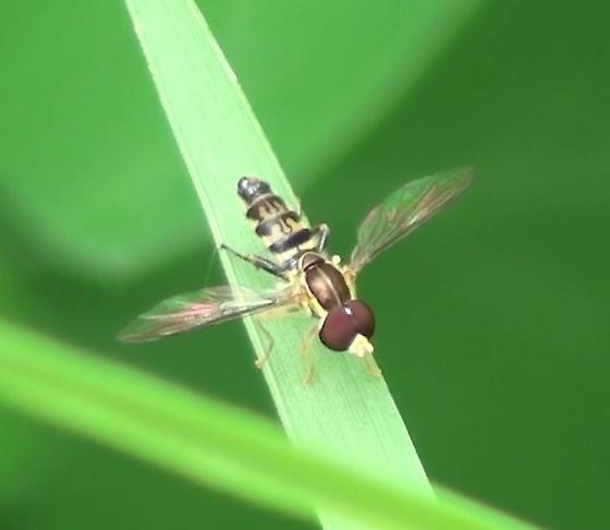 Syrphidae: Toxomerus? - Toxomerus geminatus