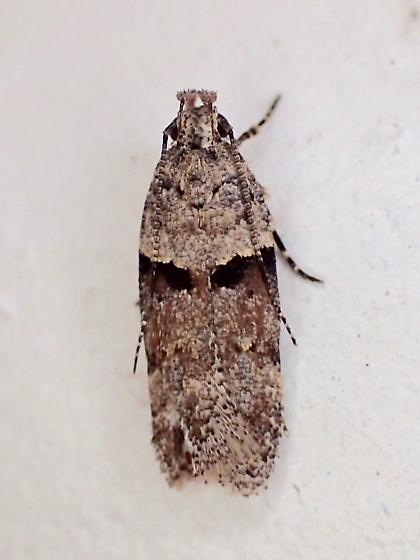 tiny moth - Faculta inaequalis
