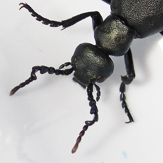 Meloe campanicollis - male
