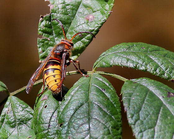 Need Id Help on This Wasp or Hornet;Chester County,PA - Vespa crabro - male