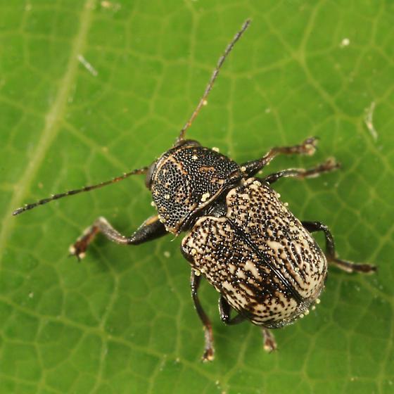 Casebearer - Pachybrachis femoratus