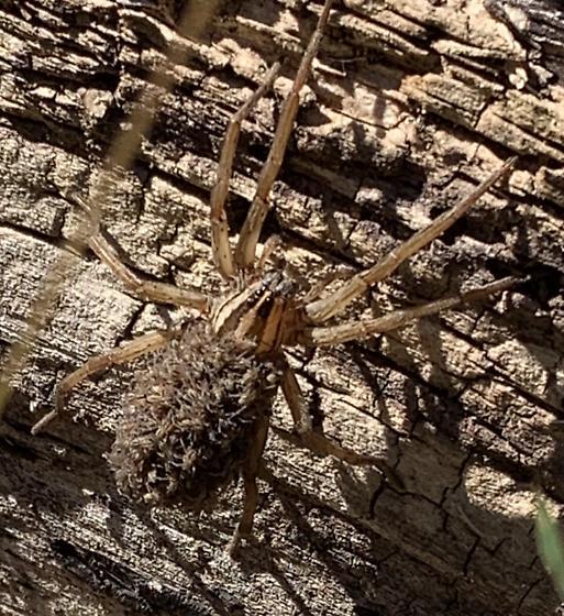 Wolf spider mama; species? - Rabidosa - female