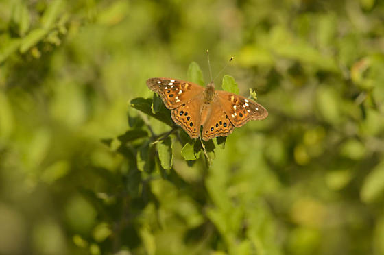 Brown butterfly - Asterocampa leilia - male