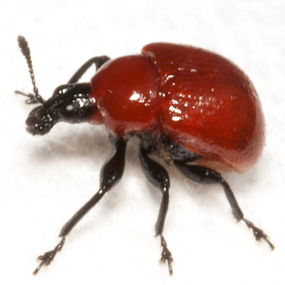 Family Attelabidae:  Attelabus nigripes ? - Homoeolabus analis
