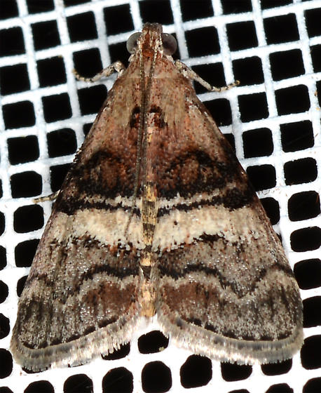 Pococera robustella - Pine Webworm  - Pococera robustella