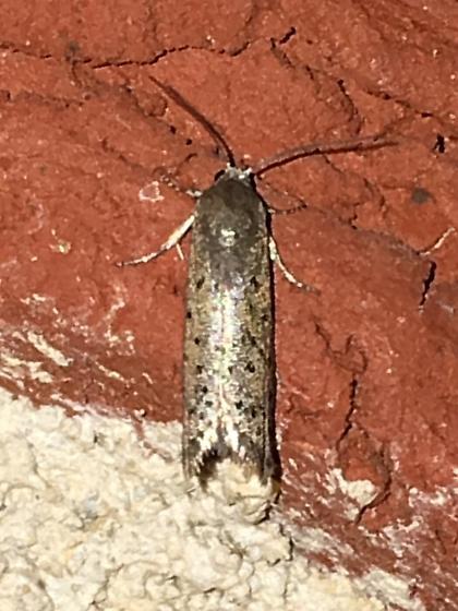 tiny speckled moth - Homadaula anisocentra