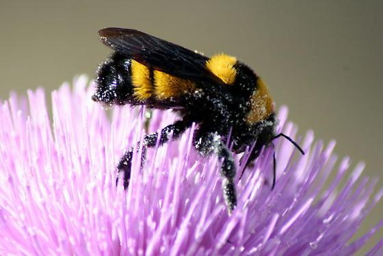American Bumble Bee? - Bombus sonorus